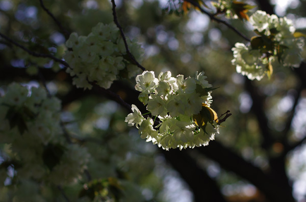 13.04.06_鬱金桜2.JPG