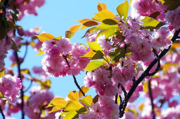 13.4.14_八重桜1.JPG