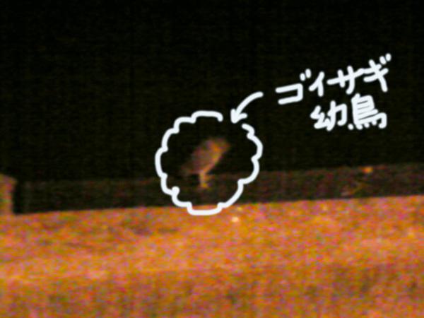 131118_ゴイサギ幼鳥.jpg