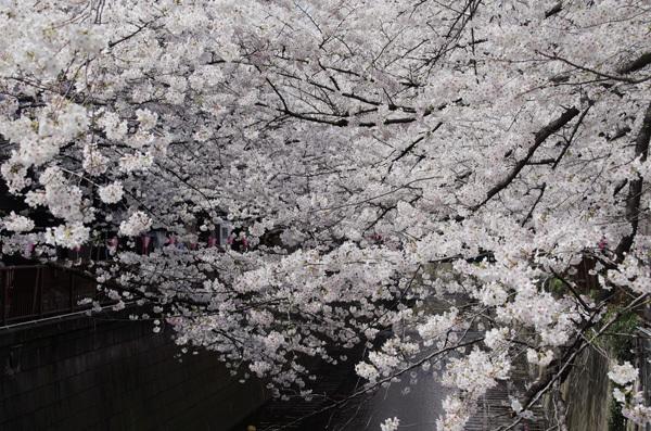 140530_目黒川桜2.JPG