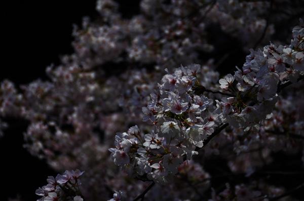 140530_目黒川桜6.JPG
