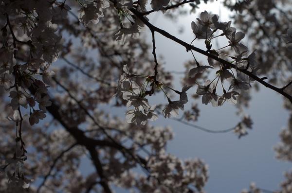 150404_桜1.jpg