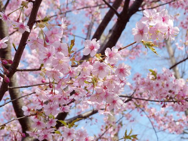150405_桜3.JPG