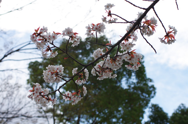 150408_桜5.JPG