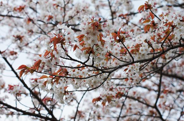 150408_桜6.JPG