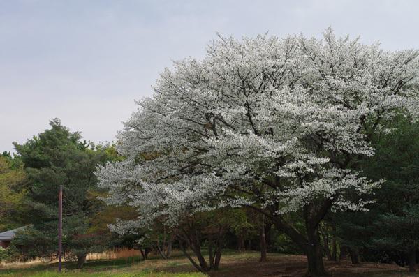 150408_桜7.JPG