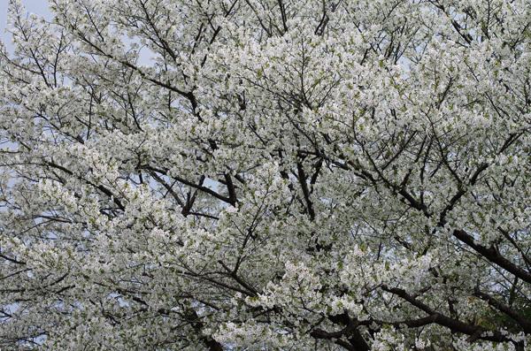 150408_桜8.JPG