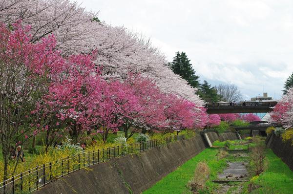 150409_桜10.JPG