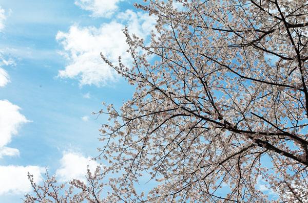 150409_桜11.JPG