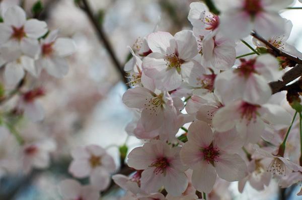 150409_桜14.JPG