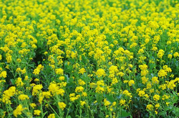 150412_菜の花.JPG
