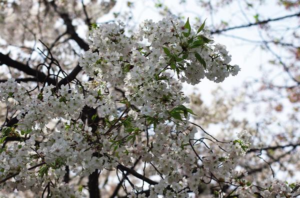 150415_桜15.JPG