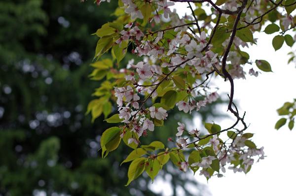 150415_桜18.JPG