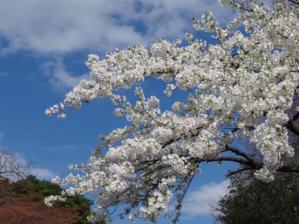 160331_桜色々2.jpg