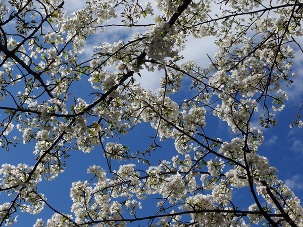160331_桜色々4.jpg