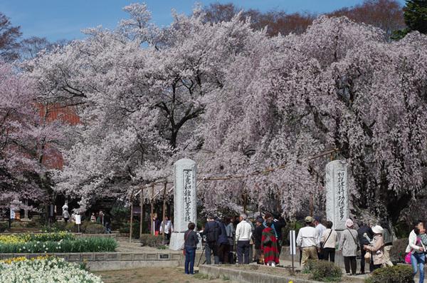 160408_実相寺桜3.jpg
