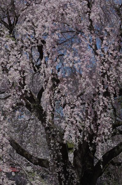 160408_実相寺桜4.jpg