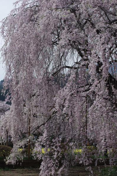 160408_実相寺桜5.jpg