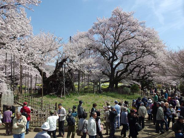 160409_神代桜6.jpg
