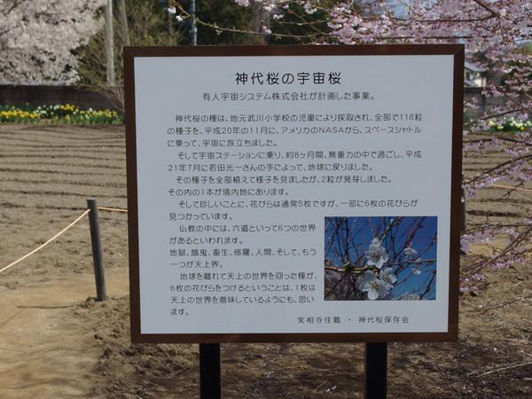 160411_宇宙桜2.jpg