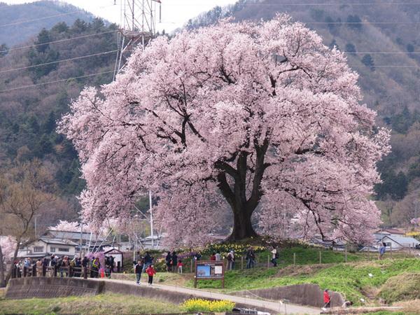 160412_わに塚のサクラ1.jpg