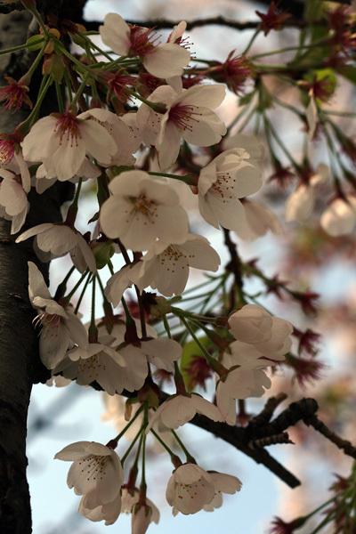 2012.4.19桜1.jpg