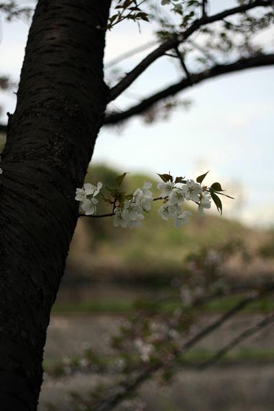 2012.4.19桜3.jpg