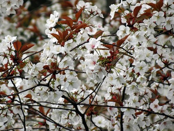 2012.4.19桜6.jpg