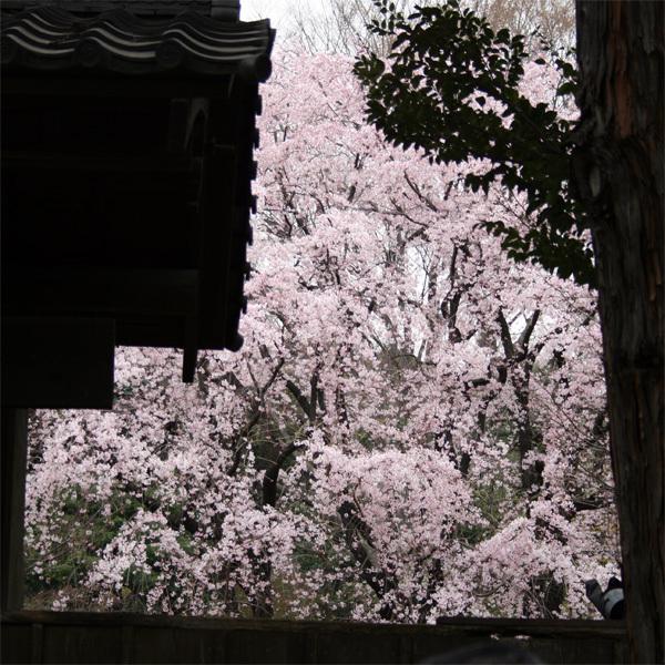 六義園しだれ桜2.jpg
